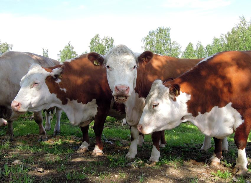 Kuvassa lehmiä ulkoilemassa.